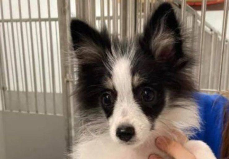 Josie, cagnolina abbandonata dal cuore malato