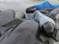 Spiaggiamento Balene Delfini
