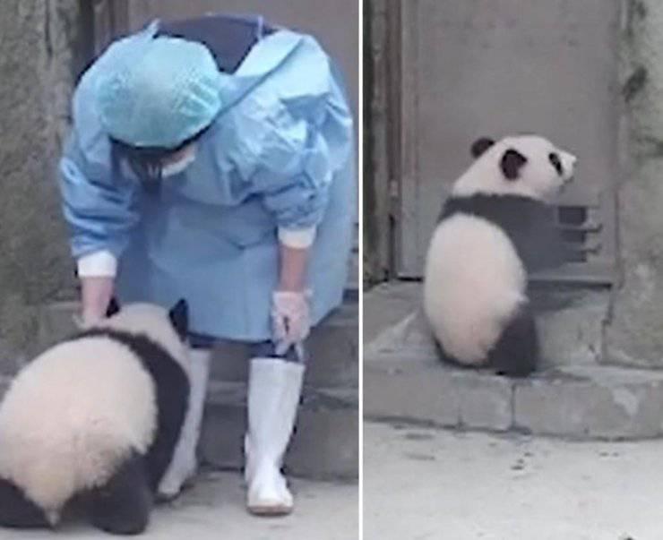 panda segue custode zoo