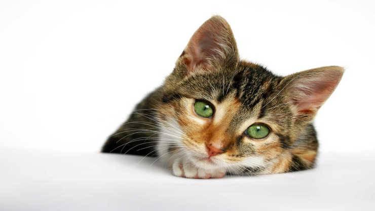 polineuropatia distale gatto