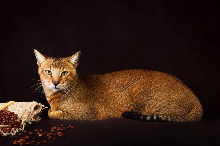 razze gatti ibride