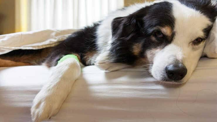 mielopatia degenerativa cane