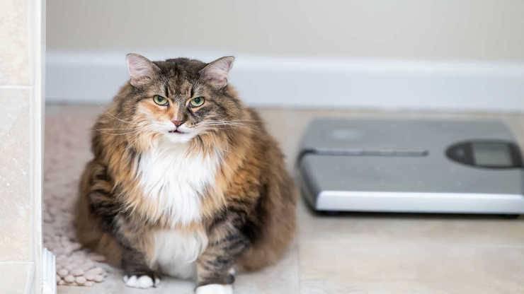 come capire gatto sovrappeso