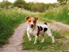 cani compatibili jack russell