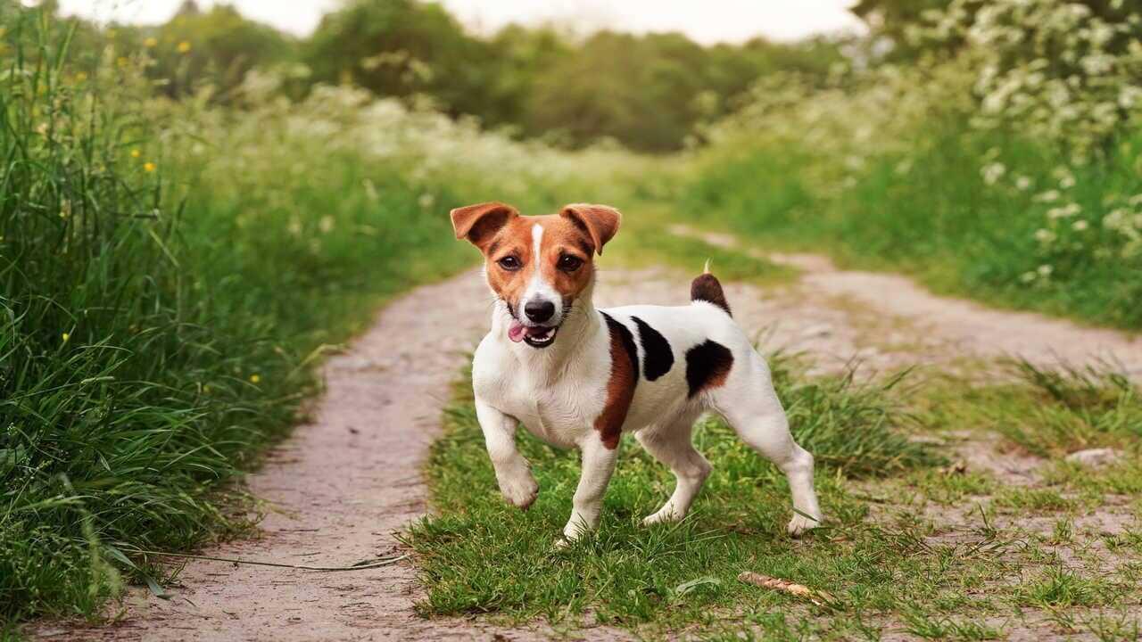 cani compatibili jack russell