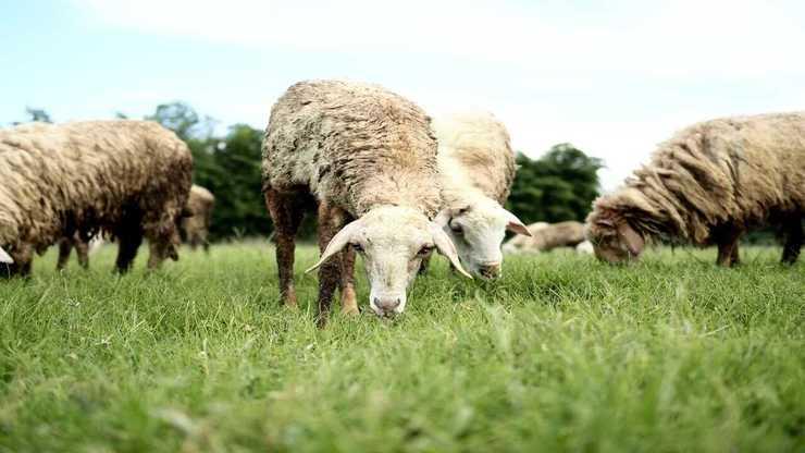 Le pecore invadono il fondo altrui (Foto Adobe Stock)