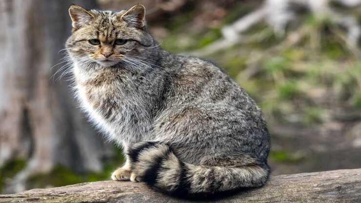 razze gatti estinte