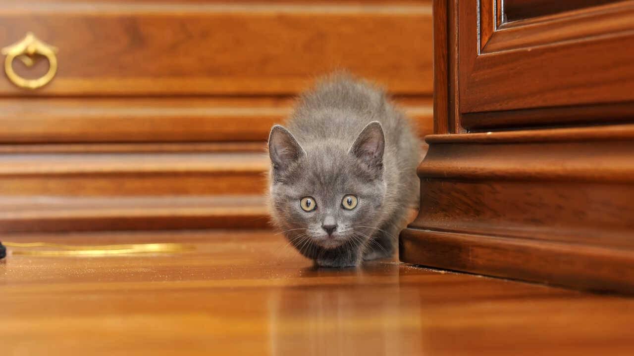 curiosità gatto certosino