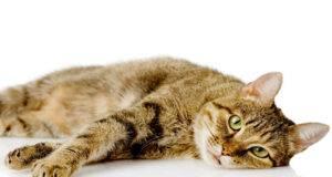 Ehrlichiosi gatto