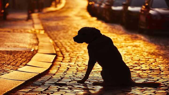 Adottare un cane smarrito, quando è reato: cosa dice la legge (Foto Adobe Stock)