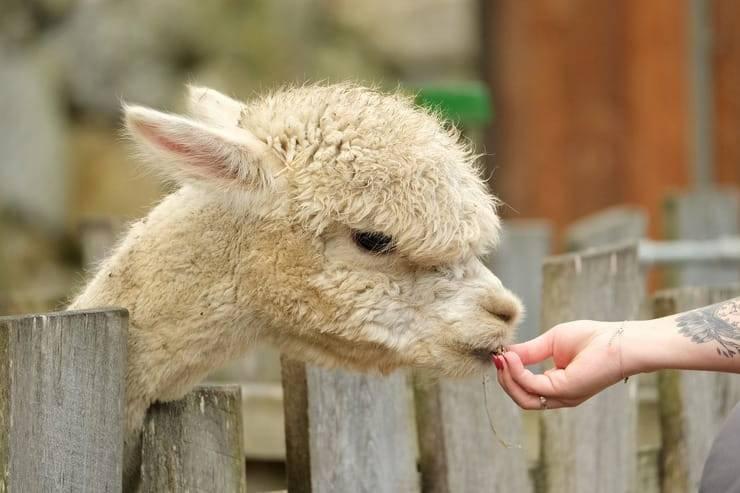 Cibo all'alpaca dello zoo (Foto Pixabay)