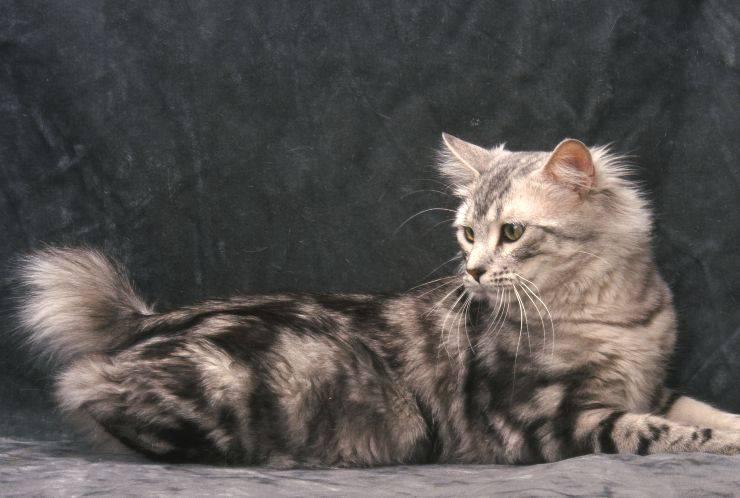 gatto american bobtail