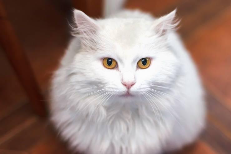 gatto turco