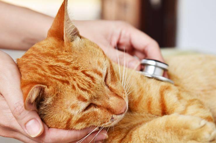 avvelenamento da arsenico nel gatto