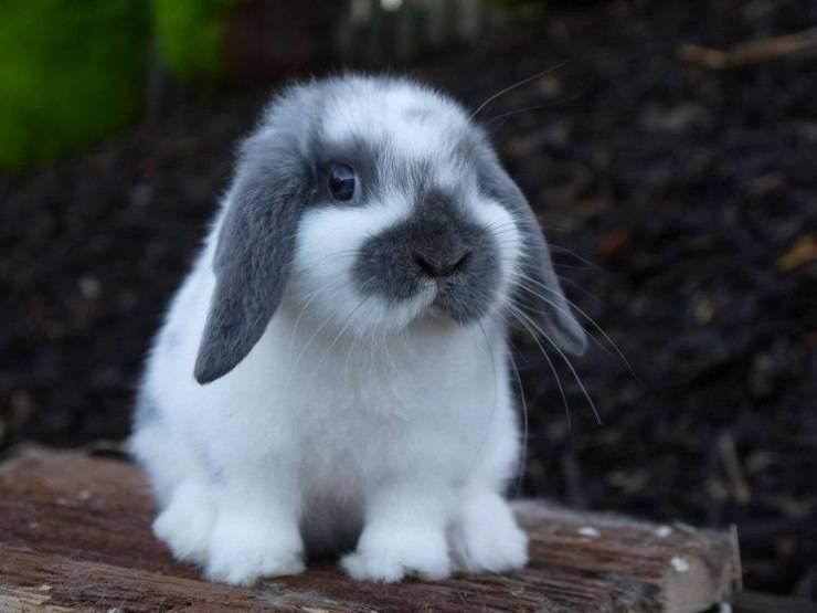 coniglio nano Mini Lop