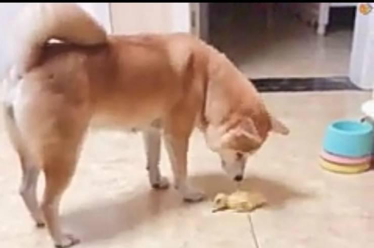 L'incontro tra il cane e il pulcino (Foto video)