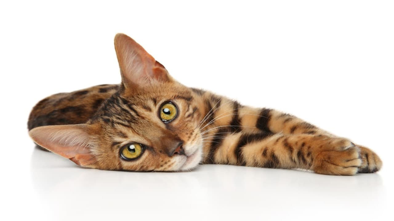 micio leopardo