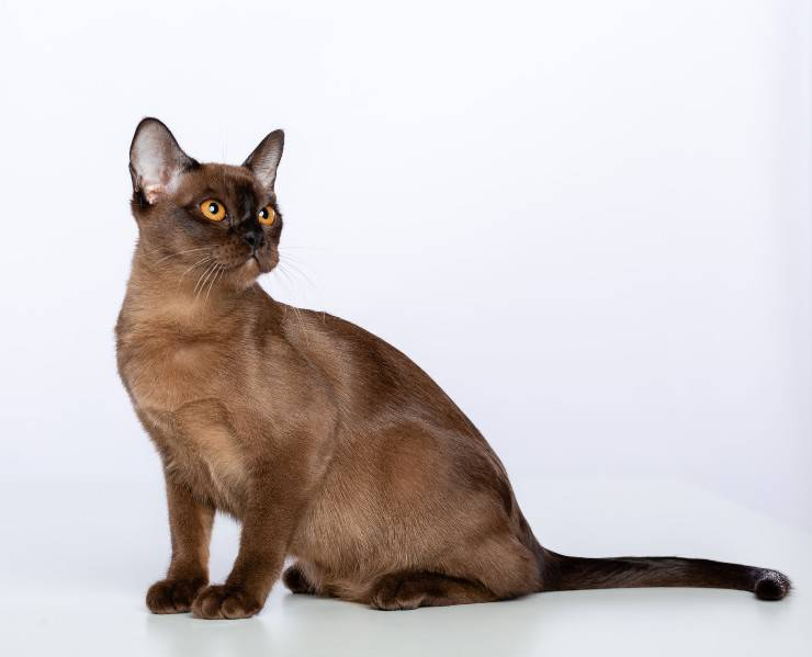 razze gatti orientali