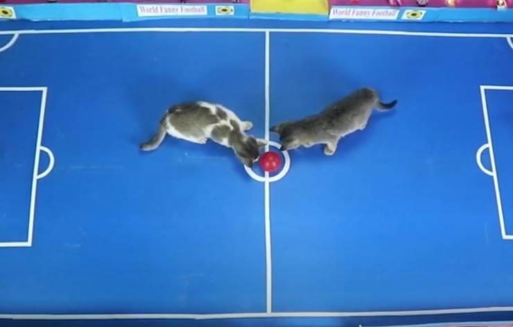 gatti giocano calcio