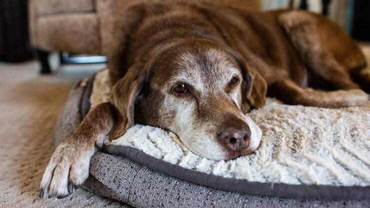 cane anziano