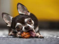 Il cane può mangiare le noci? (Foto Adobe Stock)