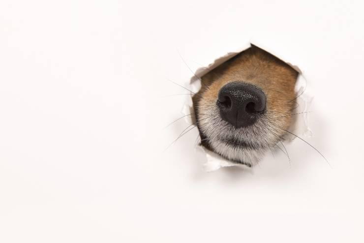 cane mangia muro