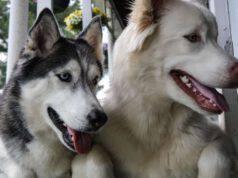 cani compatibili con siberian husky
