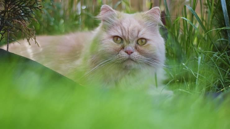 differenze gatto persiano e angora turco