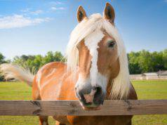 Allergia al cavallo (Foto Adobe Stock)