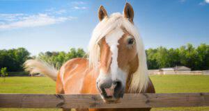 Allergia al cavallo (Foto Adobe Stock)