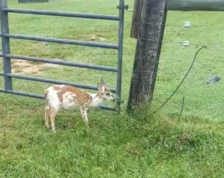 cervo cucciolo senza mamma salvato