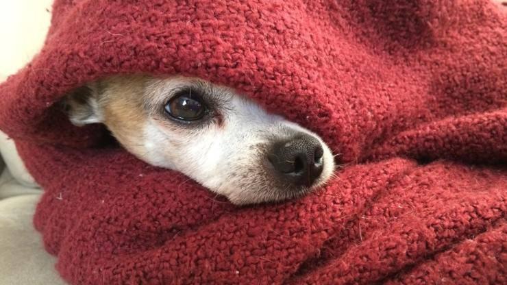 cane freddo inverno chihuahua