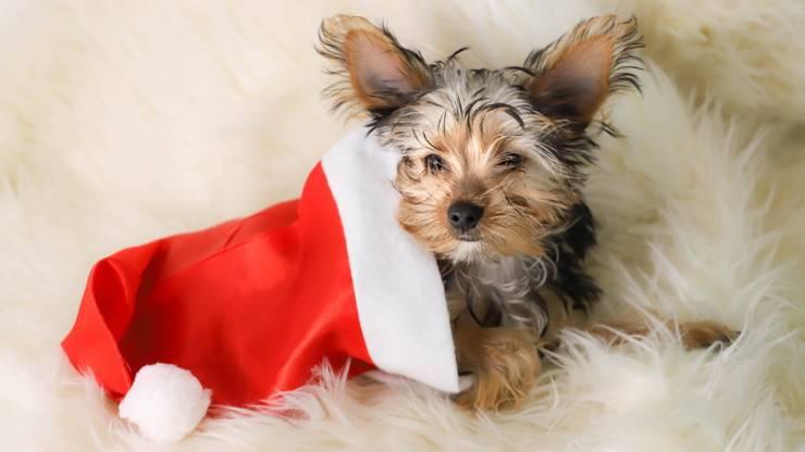 cane cucciolo natale regalo natalizio yorkshire