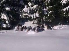 I cuccioli sulla neve (Foto video)
