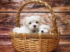 Cani taglia piccolissima mignon pelo corto maltese