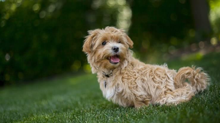 cane maltipoo incrocio maltese e barboncino