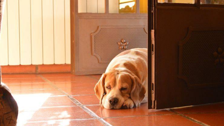 cagnolina aspetta porta padrone morto
