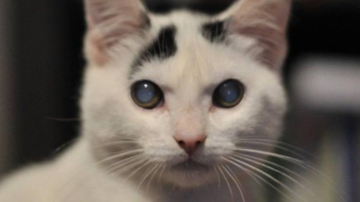 gatto occhio opaco cataratta occhi vitrei