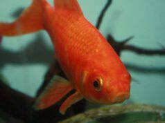 pesci rossi giganti liberati in natura