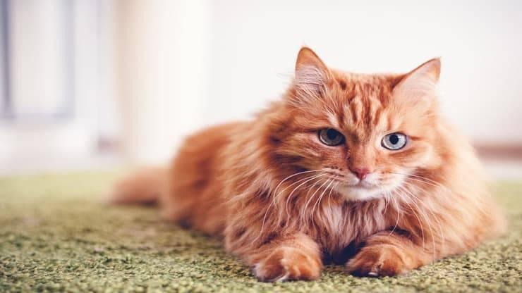 Lipidosi epatica gatto (Foto Adobe Stock)