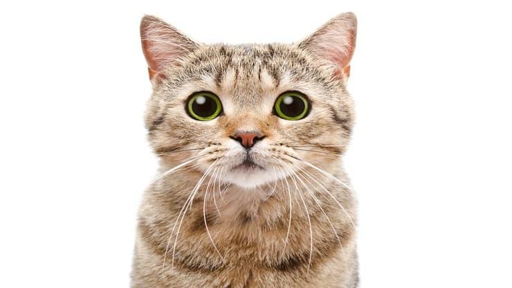 Mimica facciale del gatto (Foto Adobe Stock)