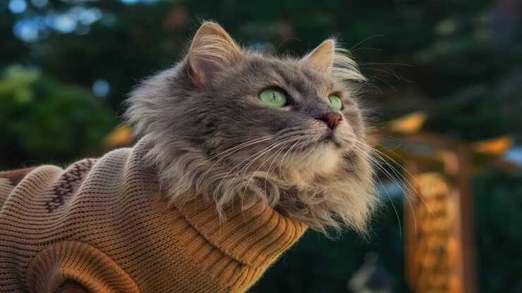 Maglioncini per gatti (Foto Adobe Stock)