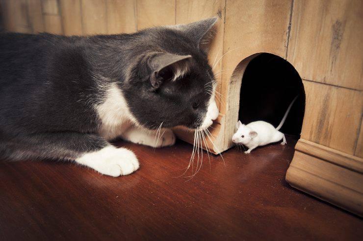 gatto cattura il topo