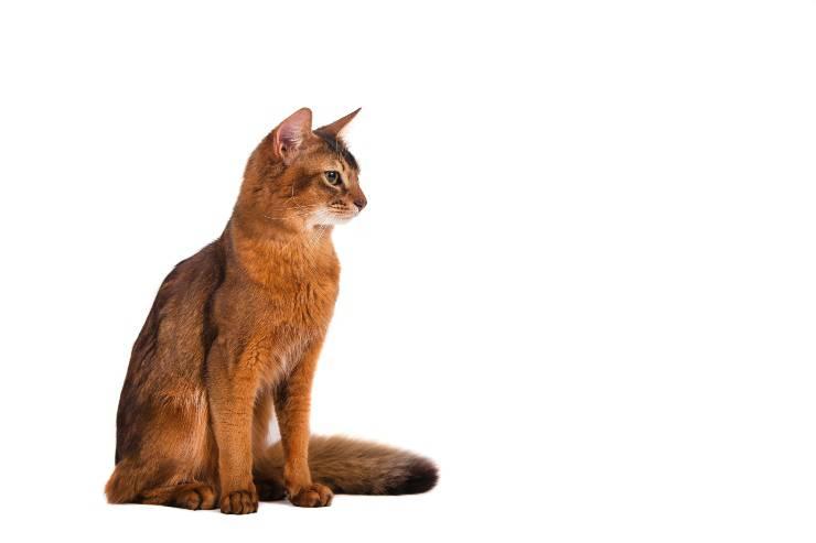 gatto della somalia