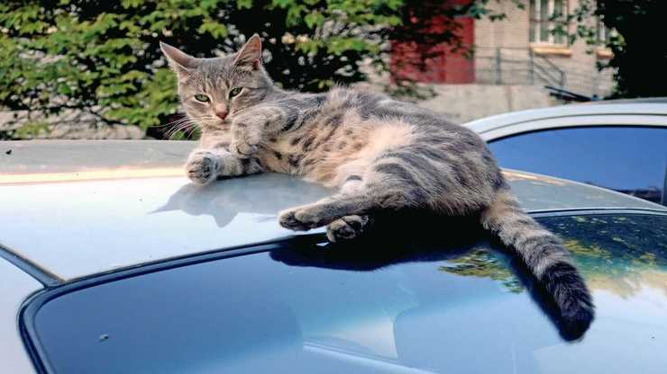 Gatto graffia auto: chi paga? (Foto Adobe Stock)
