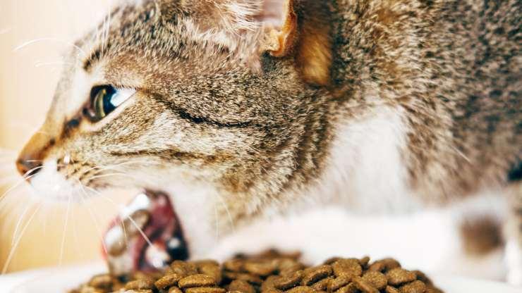 gatto vomita il cibo intero