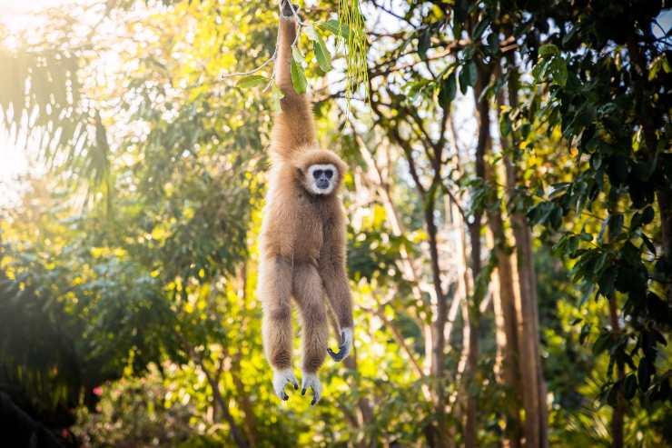 gibbone dove vive