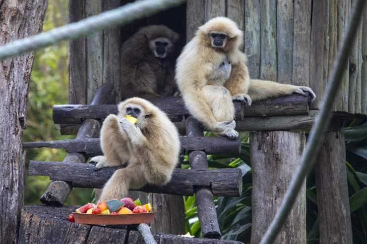 gibbone e cibo