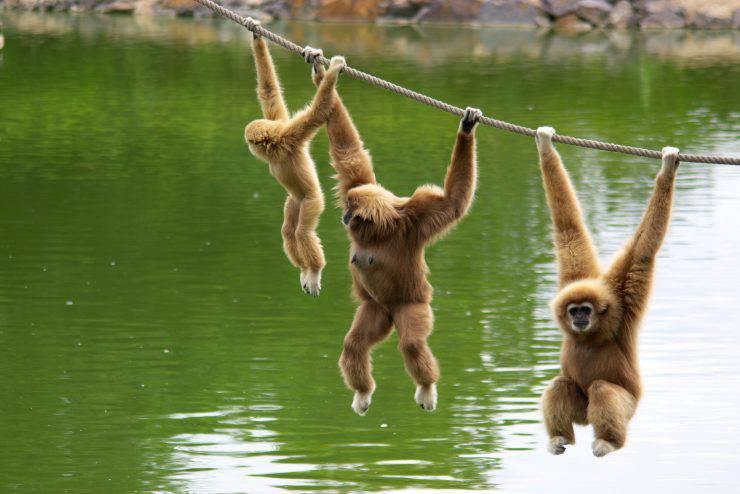 come nascono i gibboni