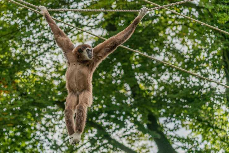 caratteristiche gibbone